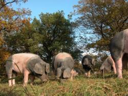 delikatEssen Nürnberg | Eichelschwein Wurstspezialitäten